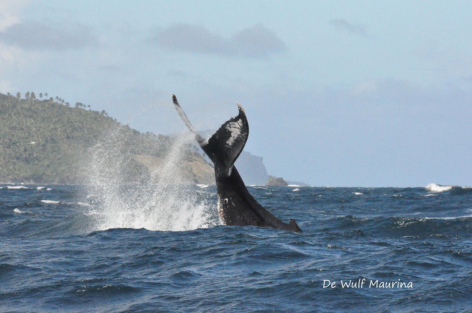 Les baleines a bosse